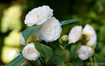flowering, buds, leaves, shrub, camellia
