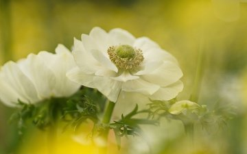 flowers, blur, white, anemones, sleep-grass