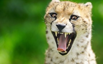 face, background, teeth, language, mouth, cheetah, wild cat