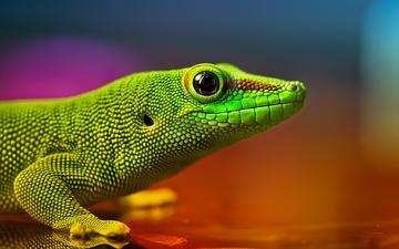 цвета, макро, ящерица, глаз, чешуя, геккон, рептилия, боке