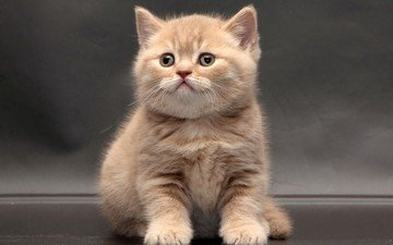 кот, кошка, котенок, британская