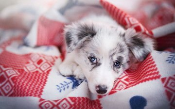 muzzle, look, dog, house, puppy, each, blanket, comfort, the border collie, ciri, alicja zmysłowska