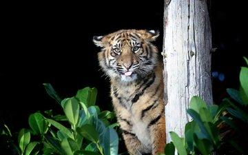 тигр, хищник, большая кошка, gary brookshaw