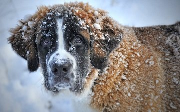 face, snow, winter, look, dog, st. bernard