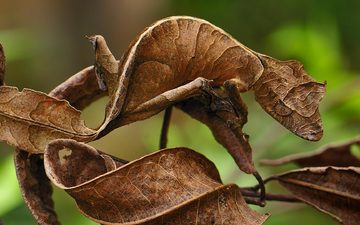 ветка, листья, ящерица, камуфляж, геккон, мадагаскар, национальный парк, leaf-tail gecko, thomas marent