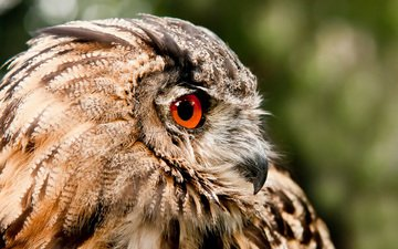 eyes, owl, predator, bird, beak, feathers