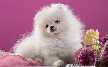 dog, puppy, spitz
