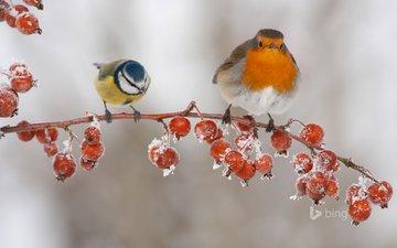 ветка, зима, птицы, ягоды, плоды, синица, малиновка