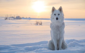 snow, winter, dog, laika