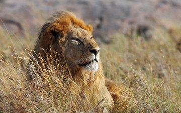 морда, взгляд, африка, большая кошка, лев
