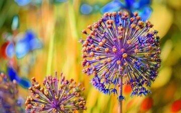 цветы, размытость, декоративный лук, аллиум