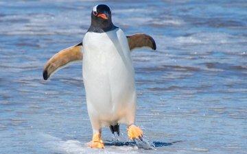 вода, лапы, птица, клюв, животное, пингвин