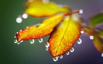 природа, листья, макро, капли, осень