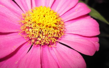 макро, цветок, лепестки, пестики, цинния