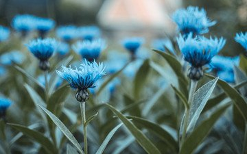 flowers, buds, leaves, stems, blue, cornflowers