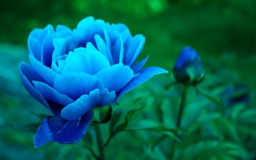 flowers, buds, leaves, petals, blue, peonies