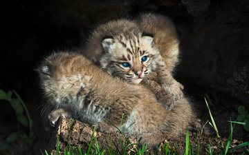 lynx, kitty, blue eyes, two, cubs, wild cats