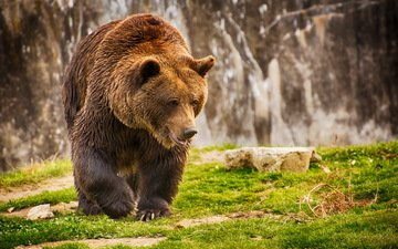 трава, медведь, мокрый, бурый медведь