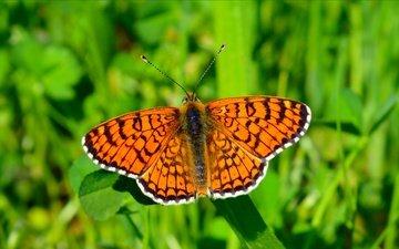 трава, насекомое, бабочка, крылья, размытость