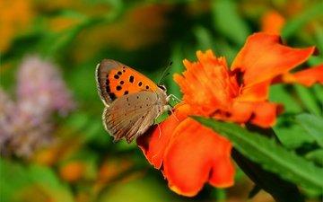 цветы, макро, насекомое, бабочка, крылья, размытость