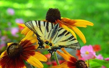 цветы, насекомое, бабочка, крылья, рудбекия
