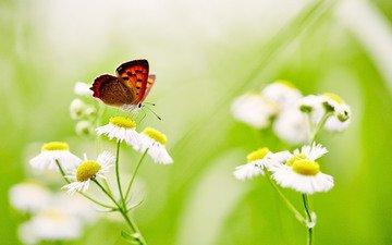 цветы, насекомое, бабочка, крылья, размытость, ромашки