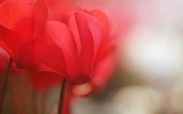 цветок, цикламен
