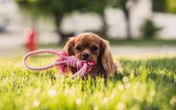 grass, muzzle, look, dog, toy, puppy, lawn, spaniel