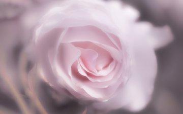 цветок, роза, лепестки, 60, пинк