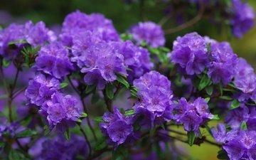 цветы, ветки, фиолетовый, азалии, азалия, рододендроны