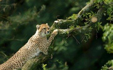 дерево, гепард, дикая кошка