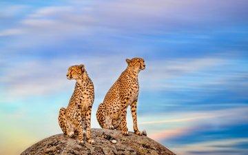 небо, камень, парочка, дикая кошка, гепарды