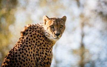 глаза, морда, взгляд, размытость, хищник, гепард