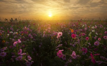 the sky, flowers, clouds, sunset, landscape, field, kosmeya