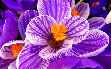 макро, цветок, лепестки, фиолетовый, весна, крокус