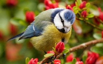 flowers, nature, flowering, branches, bird, beak, spring, feathers, tit, blue tit
