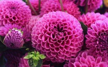 цветы, макро, лепестки, розовые, георгины