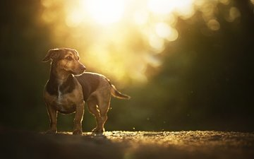road, sunset, glare, dachshund, dog, bokeh