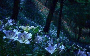цветы, бутоны, парк, лепестки, сад, лилии