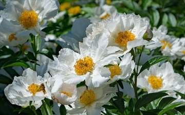 flowers, flowering, leaves, petals, bud, white, peony, peonies