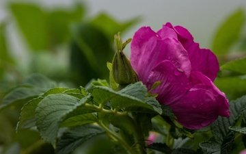 flowers, flowering, buds, leaves, macro, flower, petals, briar