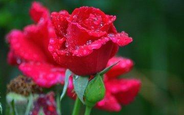 цветы, цветение, бутоны, капли, роза, лепестки