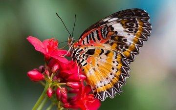 насекомое, цветок, бабочка, крылья, мотылек, cethosia hypsea