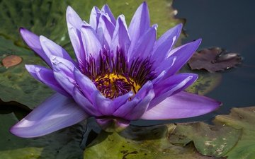 water, flowering, leaves, flower, purple, pond, lily, water lilies