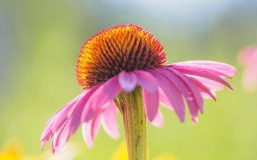 цветок, лепестки, эхинацея