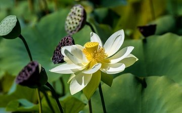 leaves, flower, petals, lotus, stems, close-up, bokeh
