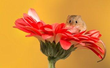 цветок, мышь, мышка, мышонок, хвостик, гербера