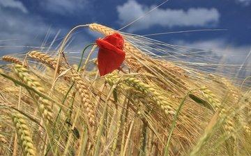 небо, облака, цветок, поле, красный, мак, колосья, пшеница