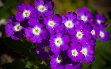 flowers, petals, purple, verbena