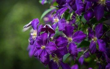 flowers, petals, clematis